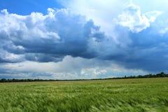 Spikelets barley Stock Image