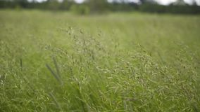 Spikelets beautiful grass moving in the wind freedom  stock video