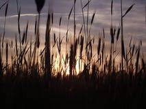 Spikelets. Beautiful sunset on ukrainian field stock photos