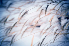 Spikelets close up with snow Royalty Free Stock Photos