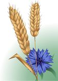 Spikelets and cornflower Stock Photos