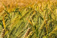 Spikelets da cevada verde, obstruídos com grões pesadas, na perspectiva do campo e do céu foto de stock