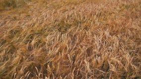Spikelets do trigo no campo vídeos de arquivo