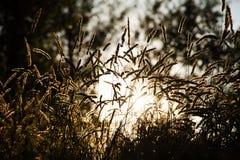 Spikelets dzikiej trawy wieczór słońce Fotografia Stock