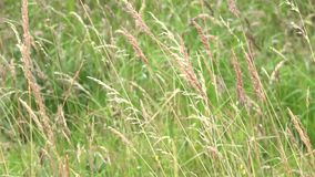 Spikelets of field grass.  stock video footage