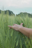 Spikelets in the field. The hand stroking the ears in the field Royalty Free Stock Image