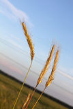 Spikelets on field and sky background Stock Images