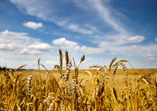 Spikelets in the field Stock Photography