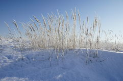 Spikelets and frost. Frosted ears in a field in the Kursk region Royalty Free Stock Photo