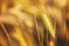 Spikelets gold color, backlit, natural summer background, blurre royalty free stock image