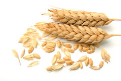 Spikelets and Grains of Wheat royalty free stock photography