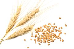 Spikelets and Grains of Wheat on a White Background. top view royalty free stock image