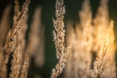 Spikelets, grass, sunny day, autumn royalty free stock photography
