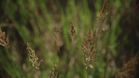 Spikelets of grass in the wind.Spikelets and grass swaying in the wind against the backdrop of the lake.dr agonfly n the stock footage