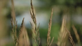 Spikelets of grass in the wind.Spikelets and grass swaying in the wind against the backdrop of the lake stock video