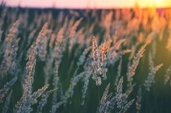 Spikelets of grasses illuminated by the warm golden light of setting sun. stock photo
