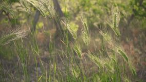 The spikes of green grass sway in the wind slow motion stock video footage