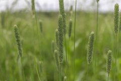 Spikelets of green meadow grass stock photography