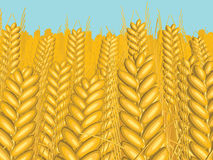 Spikelets. Illustration boundless fields of wheat under the open blue sky Royalty Free Stock Photo