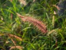 Spikelets no campo no por do sol fotografia de stock