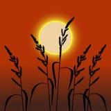 Spikelets no por do sol Foto de Stock