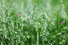 Spikelets of oats Royalty Free Stock Photography