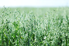 Spikelets of oats Royalty Free Stock Image