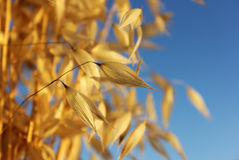 Spikelets of oats Stock Photos