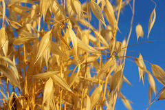Spikelets of oats against the blue sky Stock Images