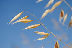 Spikelets of oats. Oats field and blue sky Royalty Free Stock Images