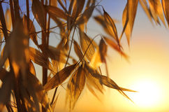 Spikelets of oats at sunset Royalty Free Stock Images