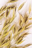 Spikelets of oats  on white background. Top view.  stock image