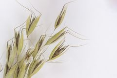 Spikelets of oats  on white background. Top view.  royalty free stock photo