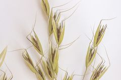 Spikelets of oats  on white background. Top view.  stock images