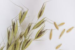 Spikelets of oats  on white background. Top view.  royalty free stock image