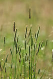 Spikelets Of Oats Royalty Free Stock Photo