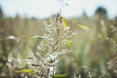 Spikelets owsy, owsy pole i niebieskie niebo, Fotografia Stock