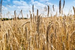 Spikelets of rye on the field Royalty Free Stock Photos