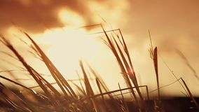 Spikelets at sunset background stock video footage