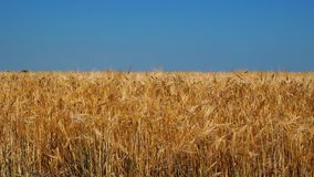 Spikelets Sway in the Wind stock video footage