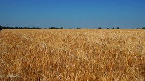 Spikelets Sway in the Wind stock footage