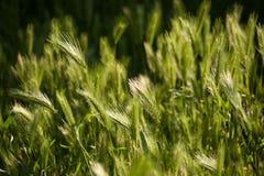 Spikelets w trawie przy wschodem słońca szczegółowy rysunek kwiecisty pochodzenie wektora Obrazy Royalty Free