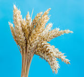 Spikelets of wheat Royalty Free Stock Photo