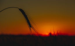 Spikelets of wheat close up on  background sunset. Stock Images
