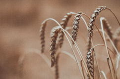 Spikelets of wheat dry. Background dry wheat ears on the field closeup Stock Image