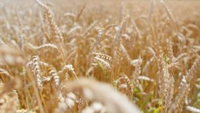Spikelets of wheat on a field. Concept: ecology, clean air, summer, spring, plantation, grass, plants, environment, gold. Spikelets of wheat on a field. Concept stock footage