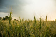 Spikelets of wheat in a field with grain, against a background of gray, blue, storm clouds, summer. Royalty Free Stock Photo