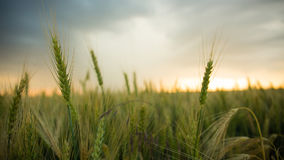 Spikelets of wheat in a field with grain, against a background of gray, blue, storm clouds, summer. Royalty Free Stock Images