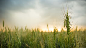 Spikelets of wheat in a field with grain, against a background of gray, blue, storm clouds, summer. Stock Images
