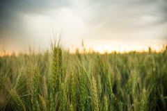 Spikelets of wheat in a field with grain, against a background of gray, blue, storm clouds, summer. Stock Photo